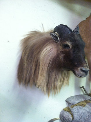 Tahr shoulder mount