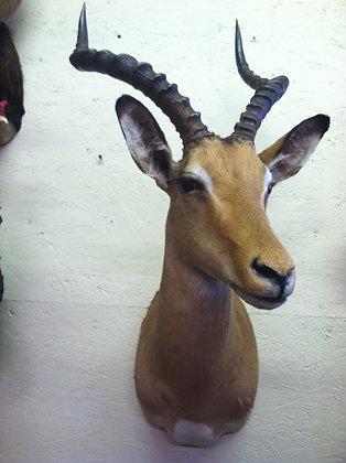 """Impala Shoulder mount 19"""""""