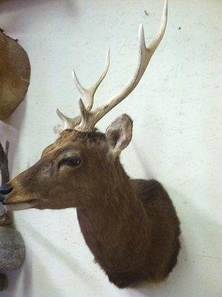 Sika Deer 3x4