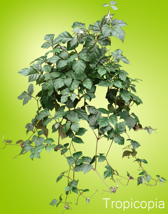 Grape Ivy plant