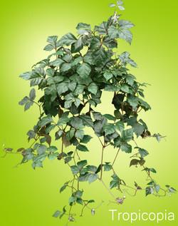 Grape Ivy plant
