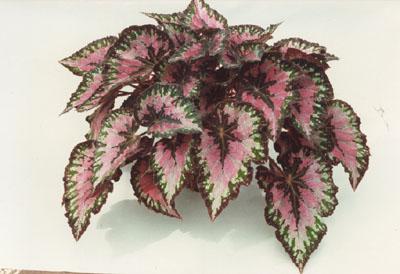 Begonia Rex Plant