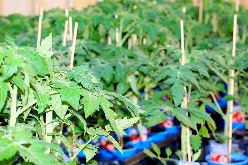 Zum Einpflanzen