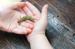 A Monarch caterpillar rests in a child's