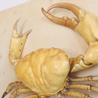 Taxidermy Giant Tasmanian Crab