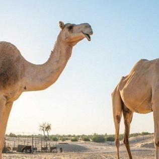 CCTV on Camel Farms