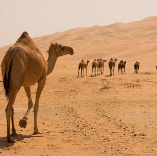 Fujairah camel farms
