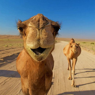 Camel Farm security