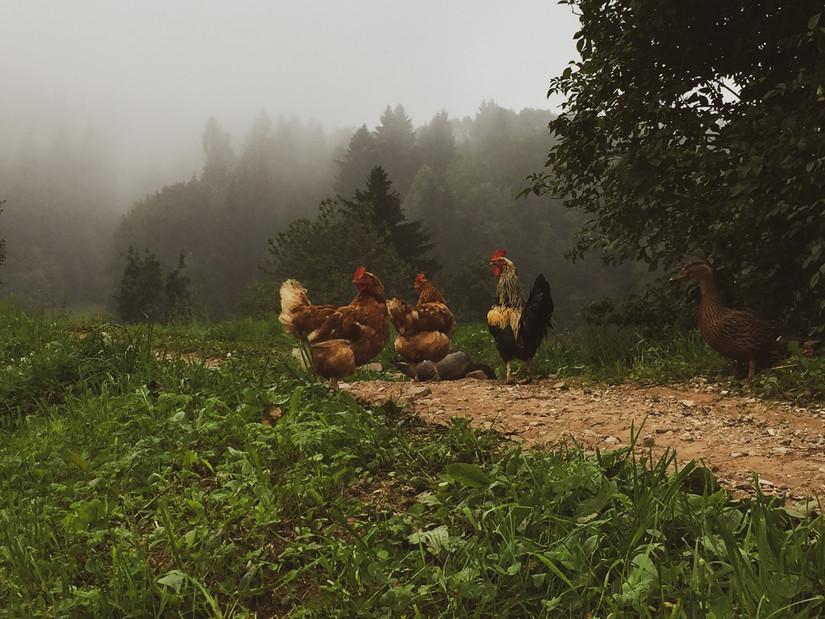 galline-all'aperto-azienda-zootecnica-ma