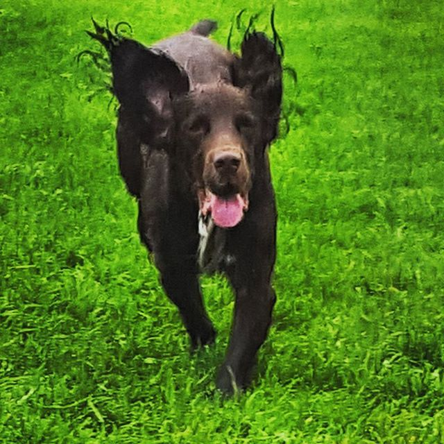 HENRY _#dogsofinstagram #dogsoftwitter #dogsoffacebook #midrun #furbaby #havingfun _#POSHPAWS