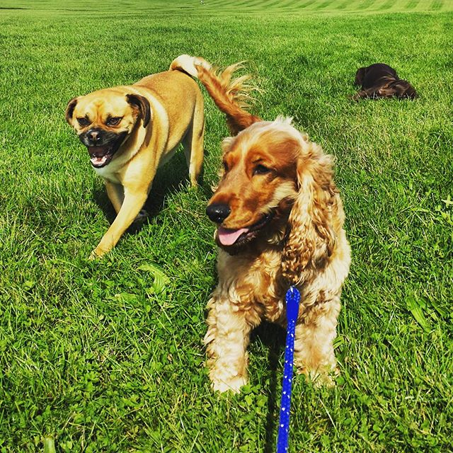 SPIKE and TEDDY🐾__#happydogs #itsadogslife #dogsofinstagram #dogwalker #lovemyjob #epsomdowns #surr