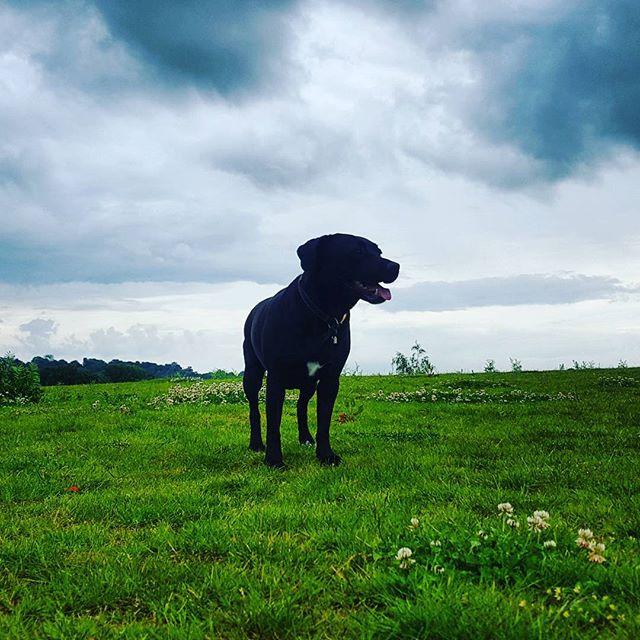 SADIE__#dogsofinstagram #dogsoftwitter #dogsoffacebook #Woof #k9love #dogs #mansbestfriend #furbabie
