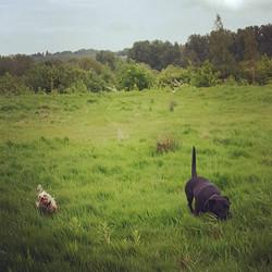 SADIE and COOKIE #lovinglife #dogsofinstagram #dogsoftwitter #dogsoffacebook #Woof #k9love #dogs #ma