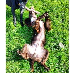 HENRY and SADIE 🐾__#happydog #itsadogslife #dogsofinstagram #dogwalker #lovemyjob #epsomdowns #surr