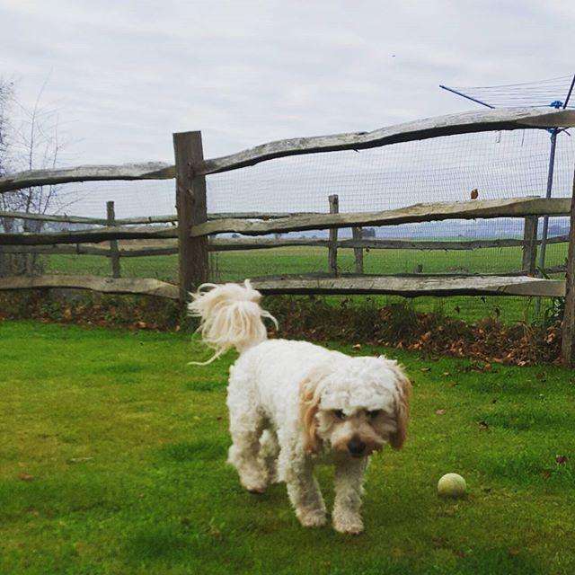 CHESTER 🐶__#dogsofinstagram #dogsoftwitter #dogsoffacebook #Woof #k9love #dogs #mansbestfriend #fur