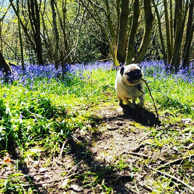 GEORGE _#dogsofinstagram #dogsoftwitter #dogsoffacebook #Woof #k9love #dogs #mansbestfriend #gorgeou