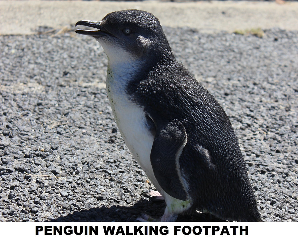 penguin walking footpath (our road)