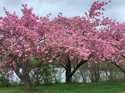Cherry trees on Rider's campus in full bloom