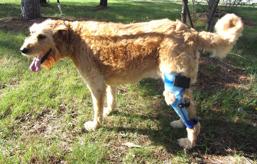 Simon was one of the original dogs to wear an ACL brace. He has worn them on both legs, and now only wears them for long walks.