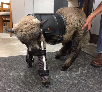 This little lamb needed some support for her front legs.