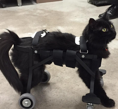 Bella needed a cart to help her get around.  This black cat can really move!