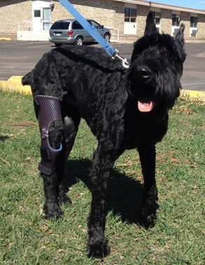 Zachary is a Giant Schnauzer that received an ACL brace.