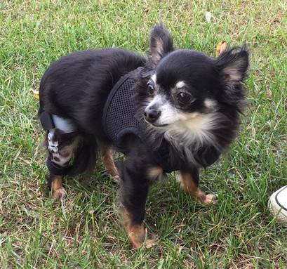 Angel was one of the smallest dogs we made a knee brace for.