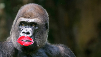 Lipstick on a Gorilla