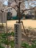 吹雪旁黑门公园(旧造币局)樱花