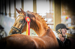 Sovereign WS Reserve Champion Mature Horse