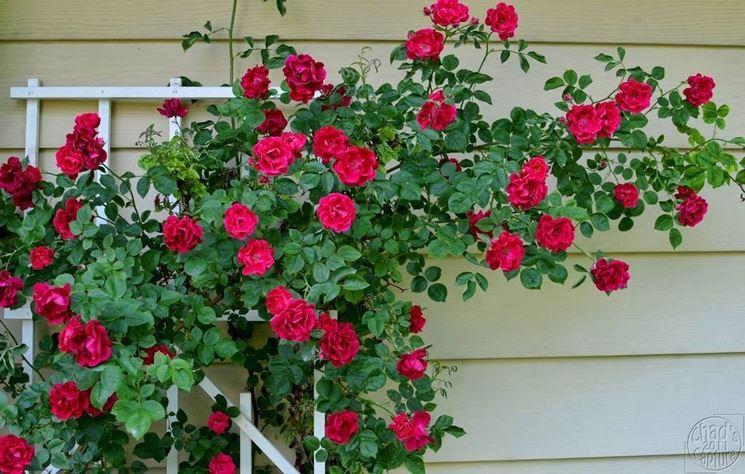 rose-rampicanti-coltivazione_NG4