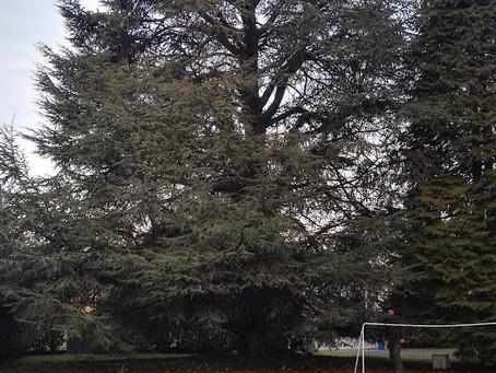 Potatura albero con tecnica di Tree Climbing   Albiate   Monza e Brianza