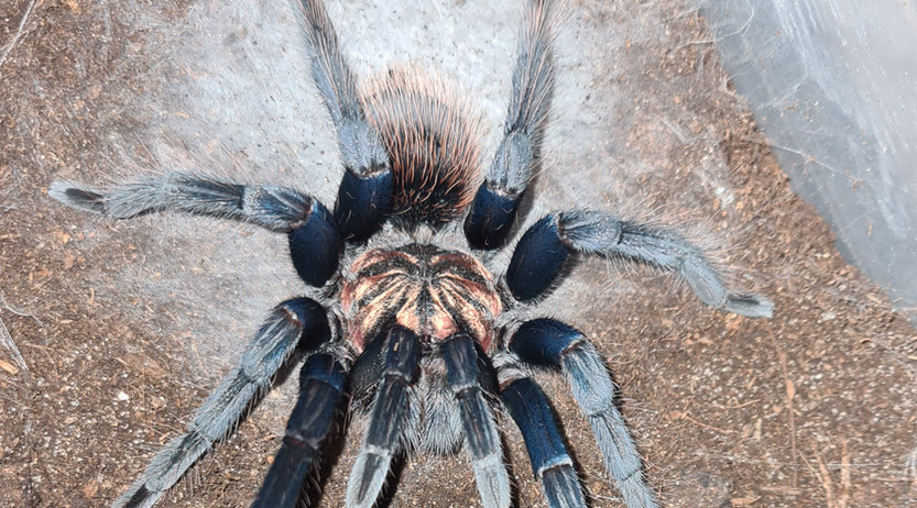 Xenesthis sp. blue