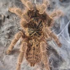 Pterinochilus murinus tcf