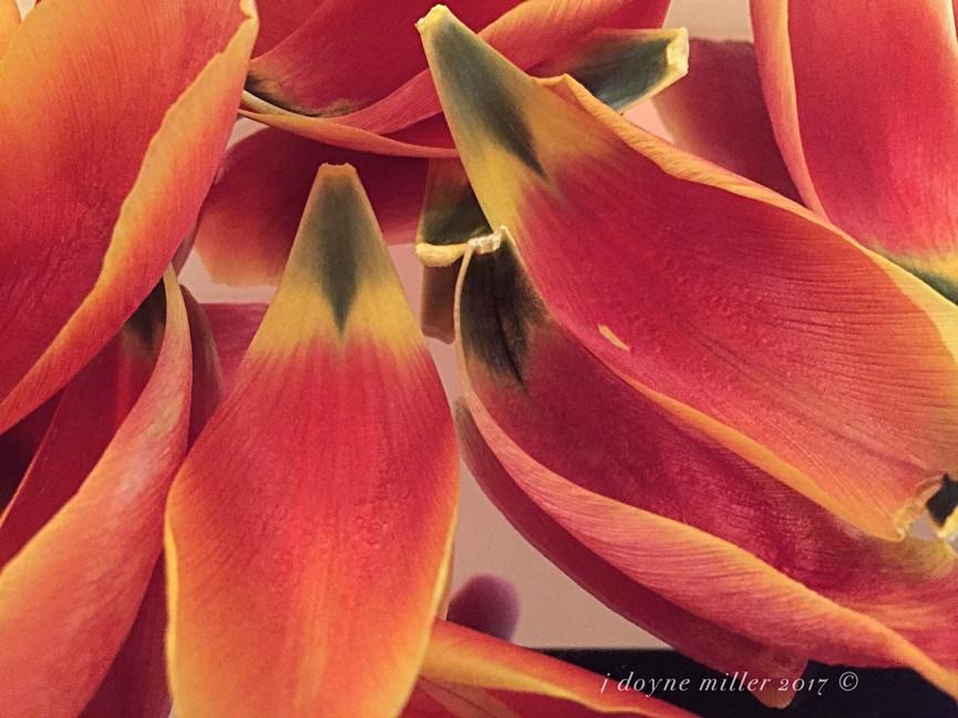 Tulip Series 1-2