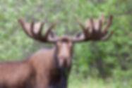 Bull moose with big antlers eating aquatic vegetation at Two Moose Lake along Dempster Highway, Yuko