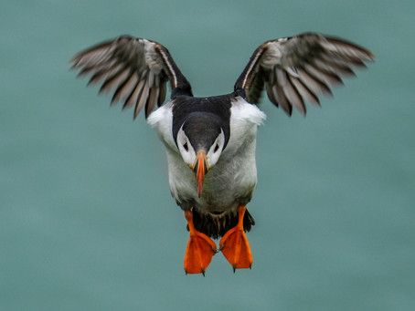 Puffin coming in to landing in Ingolfshofdi this afternoon.