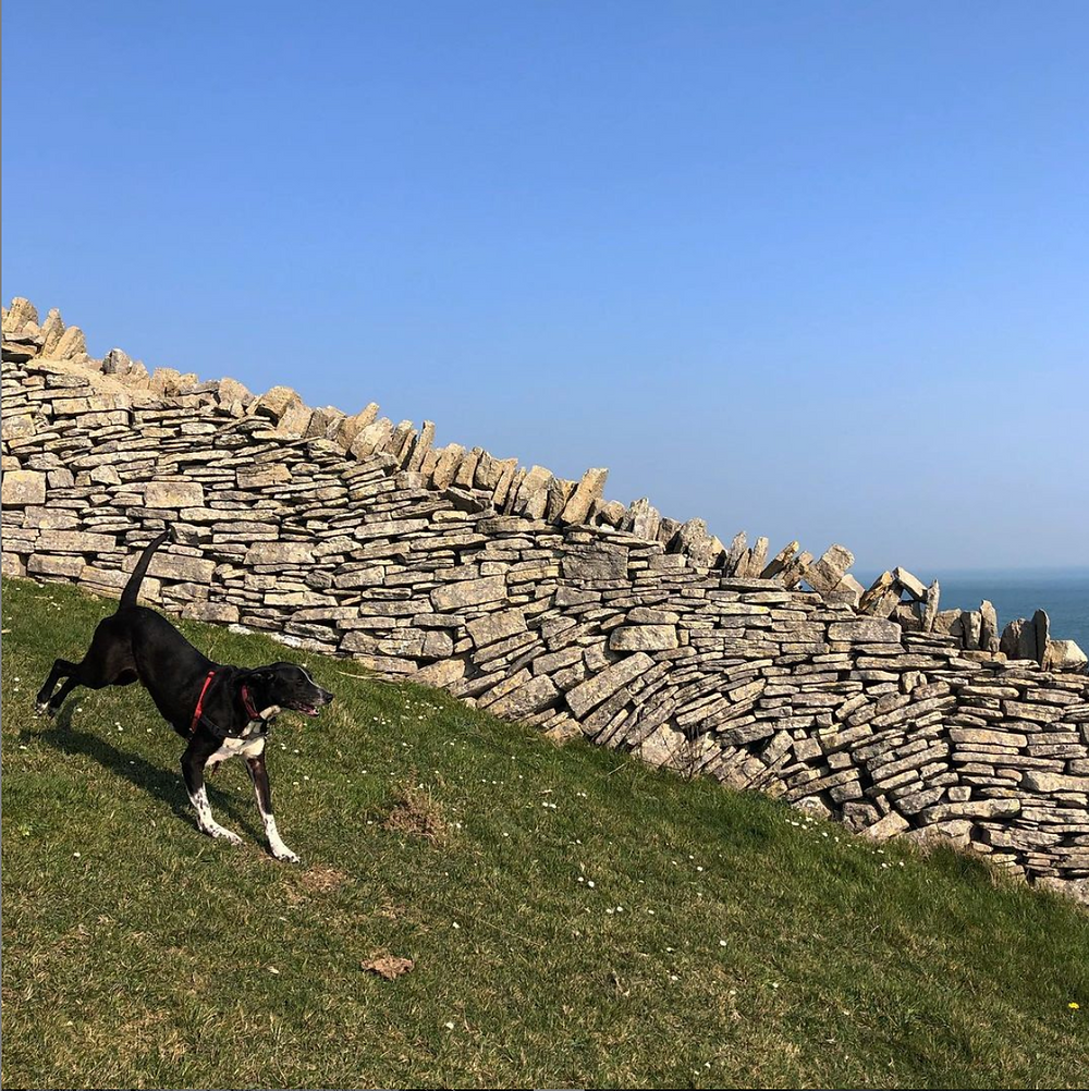 Laurie King's dog, Stanley, running next to a drystone wall in Purbeck, Dorset
