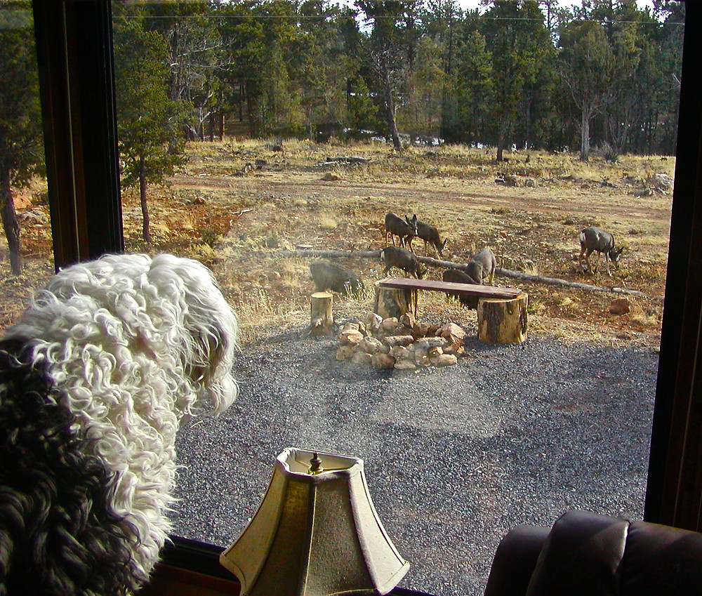 Molly watching the mule deer from the window of our camper at Grand Canyon National Park.