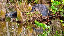 Alligator Calling