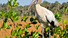 The Threatened Wood Stork