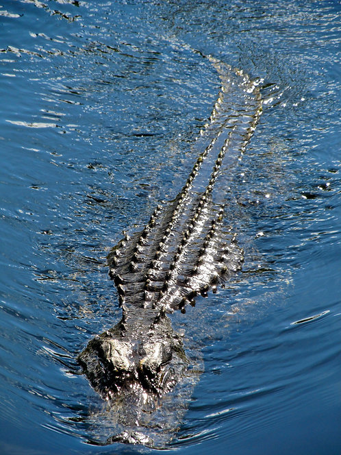Swamp Alligator 1