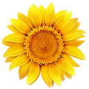 sunflower-color-1098w.png