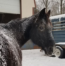 Therapy horse Blue