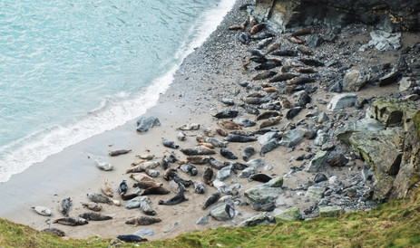 Seals in a protected cove - park at Godrevy field car park, then only a 2oo yard walk to view them all year round.jpg