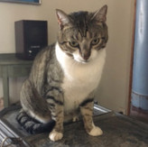 Captain Jack - 6 yr old neutered male cat