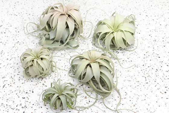 airplant_1.webp