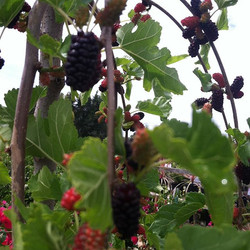Tea's Mulberry
