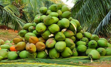 coconut-hybrid-seedlings-ramganga_edited
