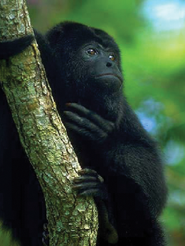 howlermonkey.png